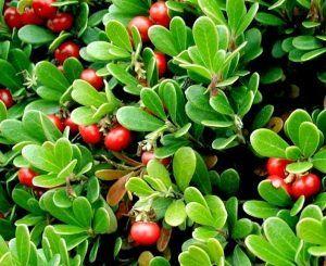 Bearberry în timpul sarcinii: prescrisă și utilizată în mod strict necesar!
