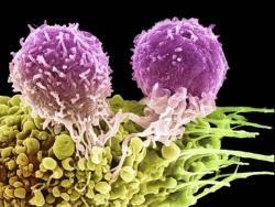 Лимфоцитите дете, отглеждано